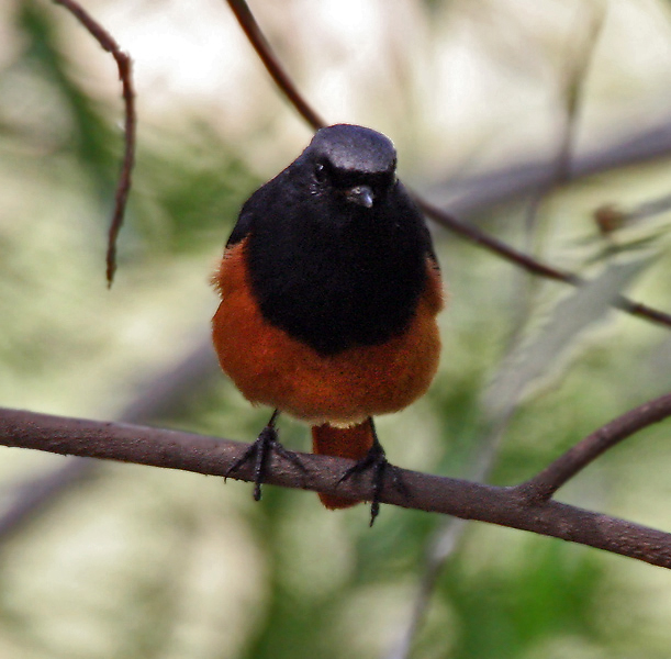 http://upload.wikimedia.org/wikipedia/commons/2/2e/Black_Redstart_%28Phoenicurus_ochruros%29-_Male_at_Sultanpur_I_Picture1042.jpg