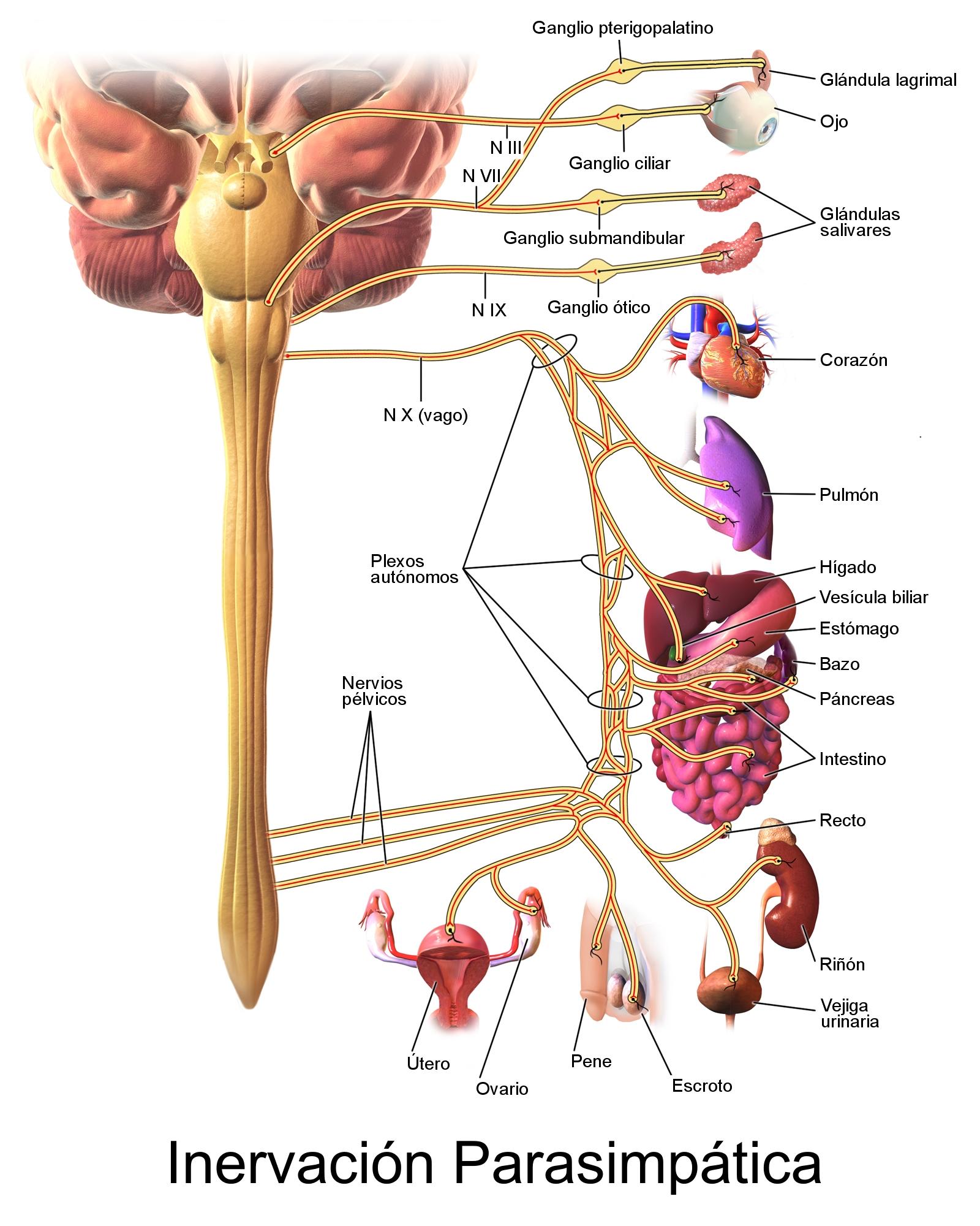 que sirve para los nervios en el estomago