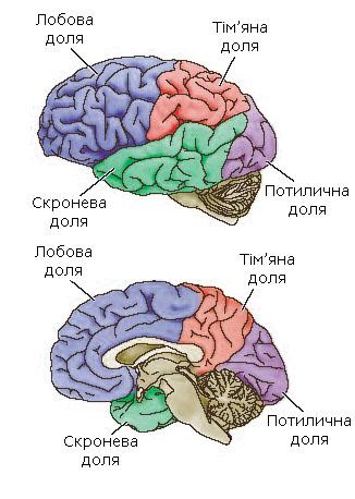 Долі великих півкуль головного