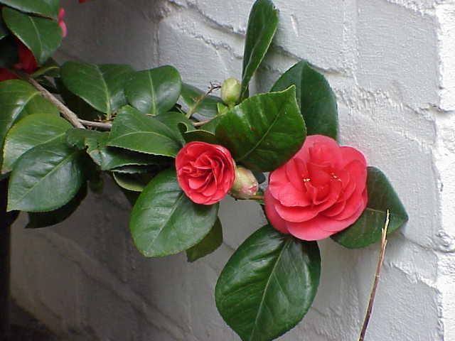 Camellia japonica wikipedia la enciclopedia libre - Cuidados de la camelia japonica ...