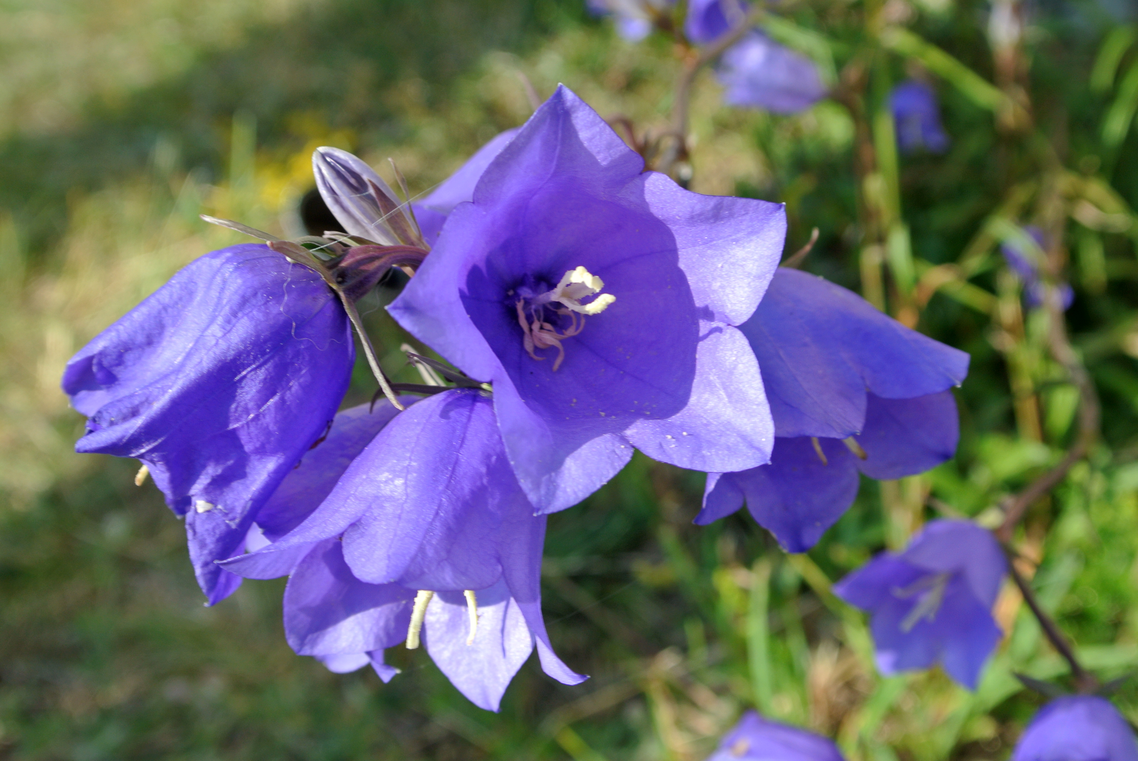 Delicato Colore Viola Pallido campanula - wikipedia