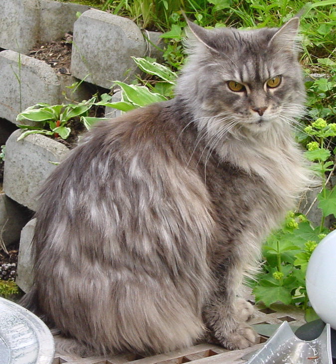 File:Cat-MaineCoon-Lara1.png - Wikipedia