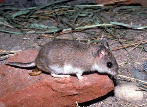 http://upload.wikimedia.org/wikipedia/commons/2/2e/Chihuahuan_grasshopper_mouse.jpg