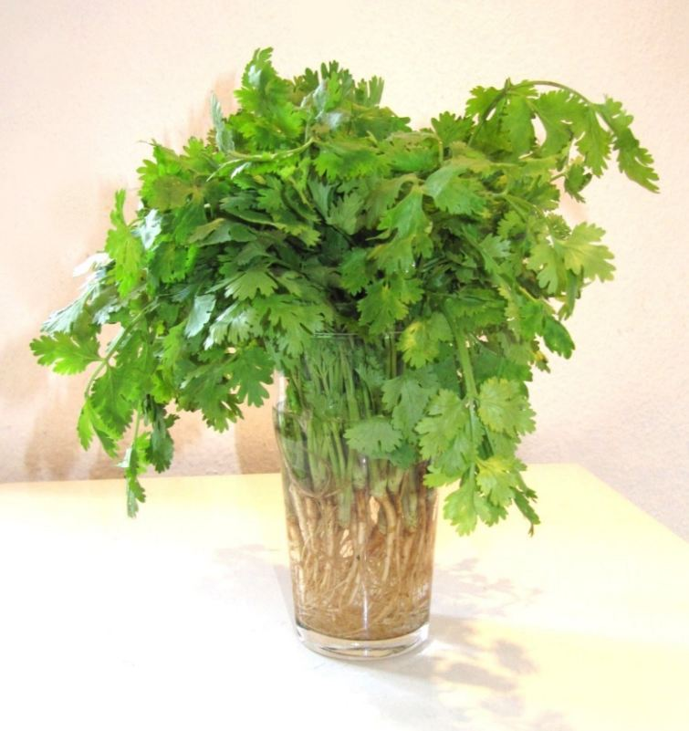 Cilantro plant from wikipedia