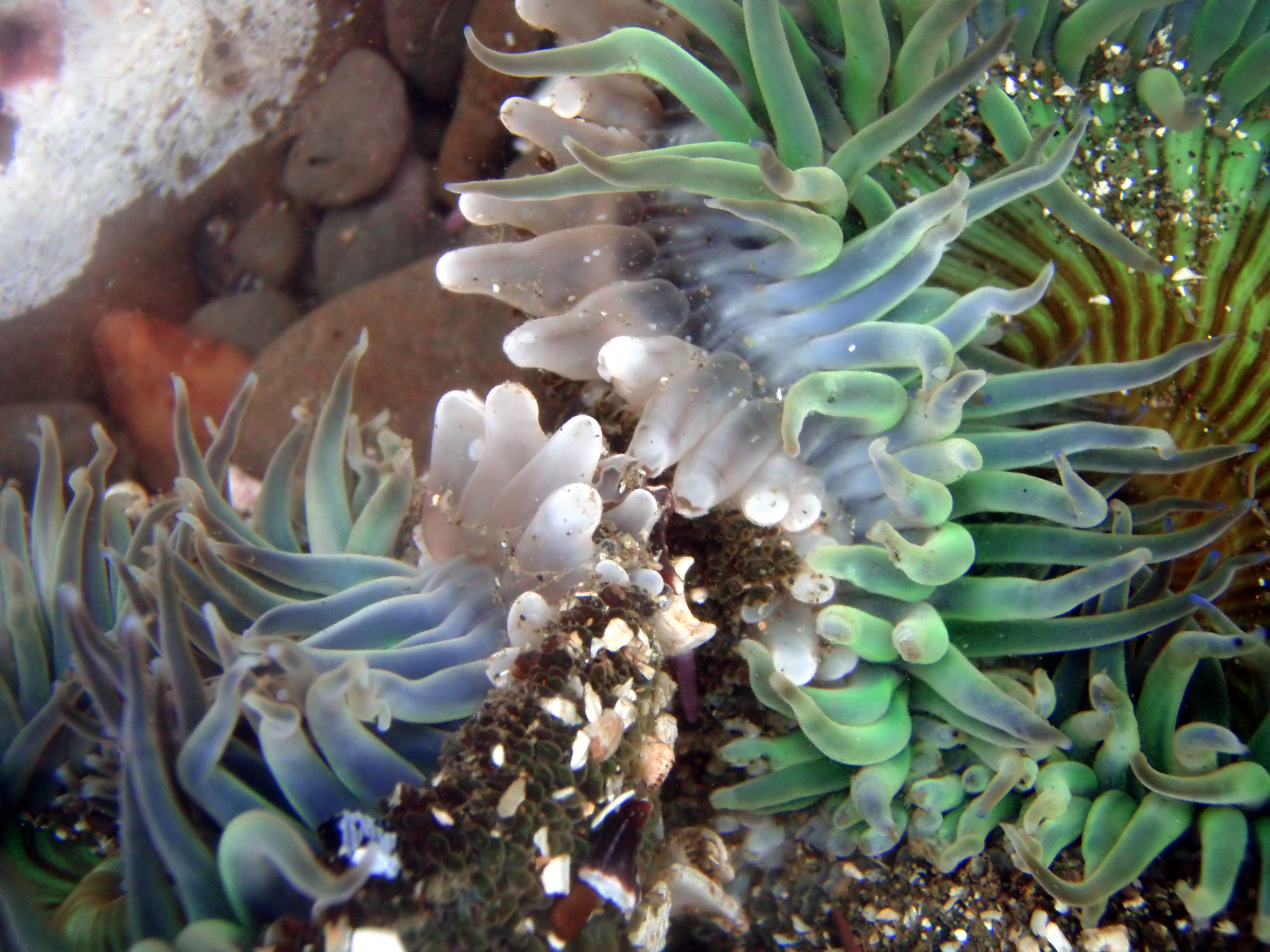 an analysis of the topic of the sea anemones and the clone specific segregation Fission in sea anemones: integrative studies for studying fission in sea anemones culled from a preliminary analysis clone specific segregation in the sea.