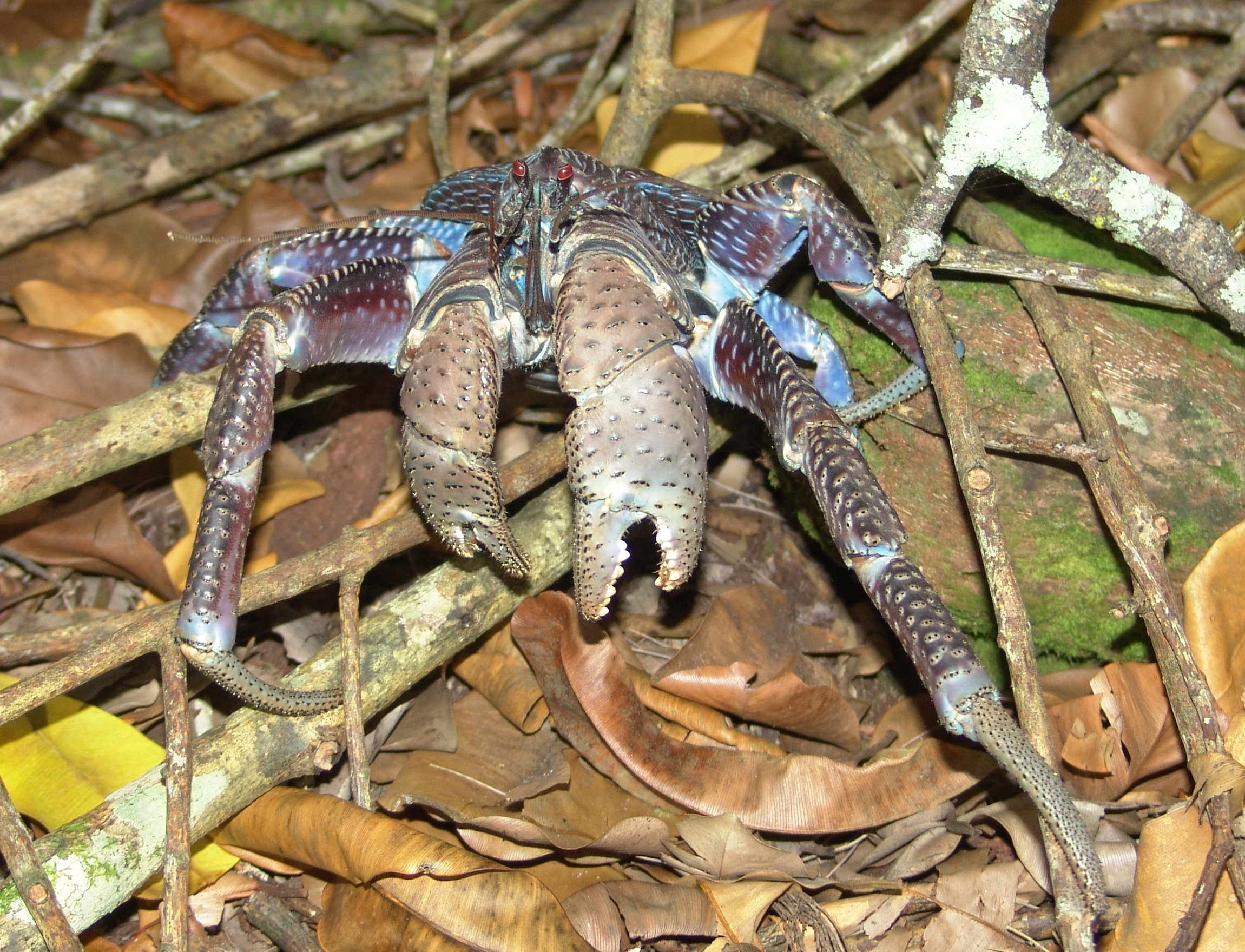 filecoconut crab birgus latro 1 4091437676jpg