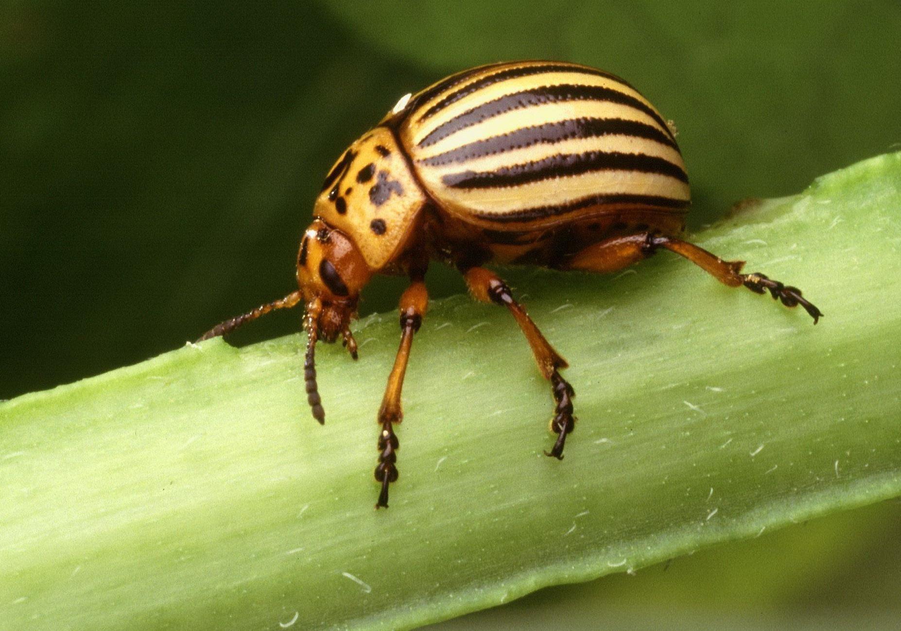 Description Colorado potato beetle leptinotarsa decemlineata insect ...: commons.wikimedia.org/wiki/file:colorado_potato_beetle_leptinotarsa...