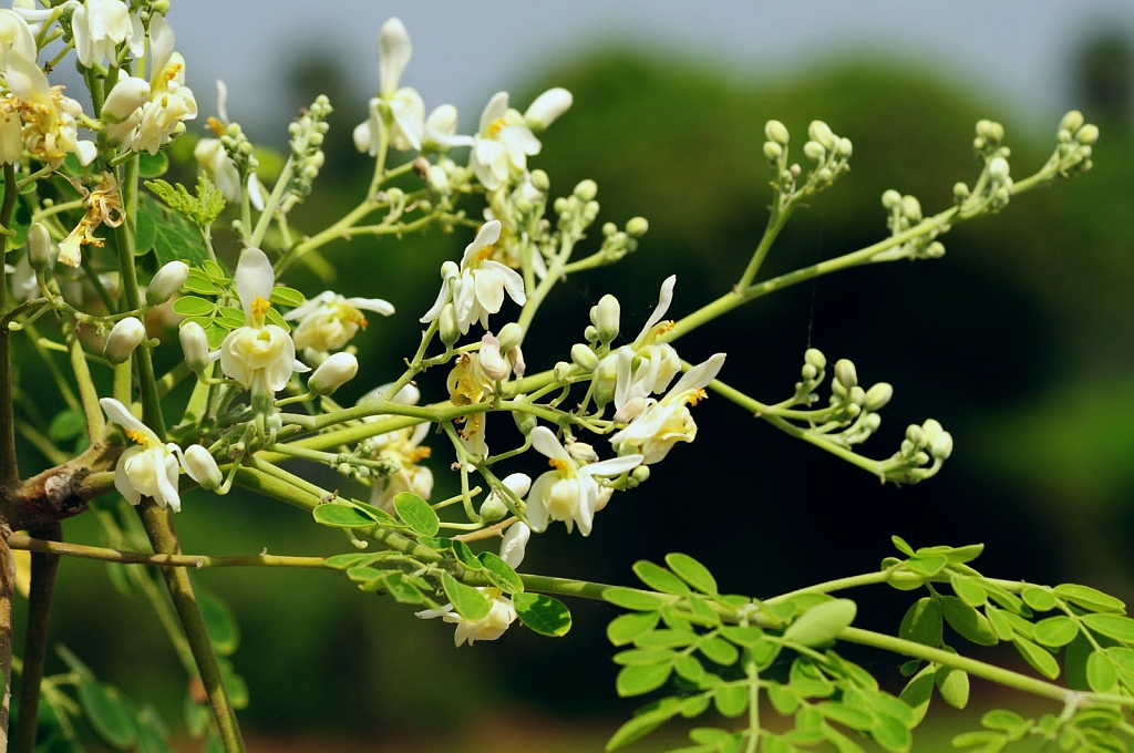 Health Benefit Of The Moringa also known as the tree of life