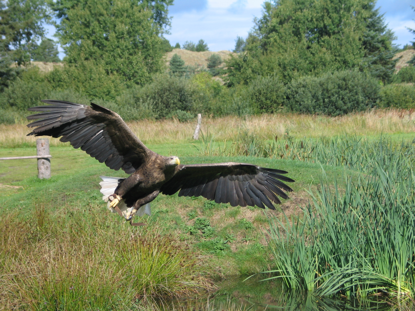 http://upload.wikimedia.org/wikipedia/commons/2/2e/Eagle_In_Flight_2004-09-01.jpeg