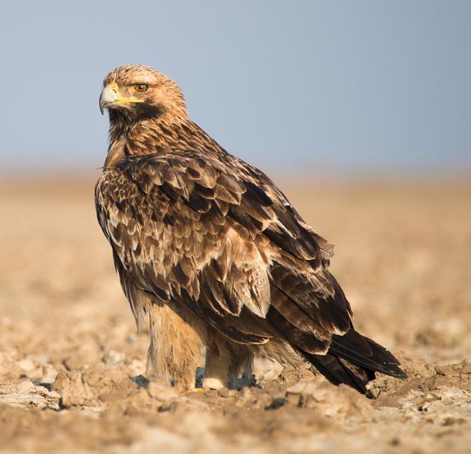 9e9b530a9a96 Eastern imperial eagle - Wikipedia