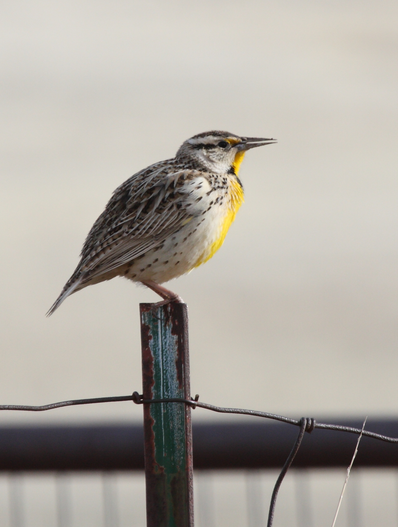 File:Eastern Meadowlark.jpg
