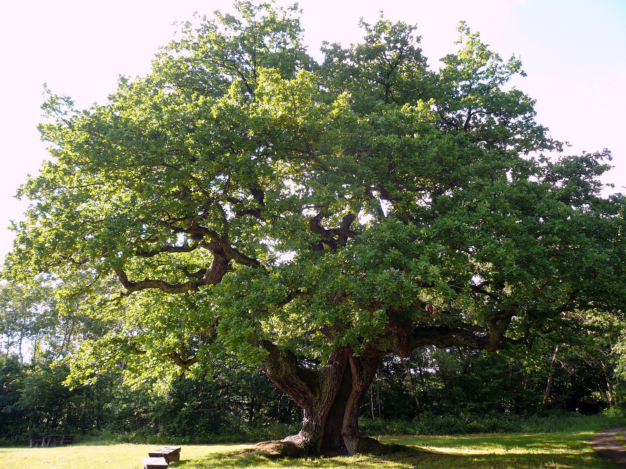 liste der dicksten bäume in der rhön – wikipedia