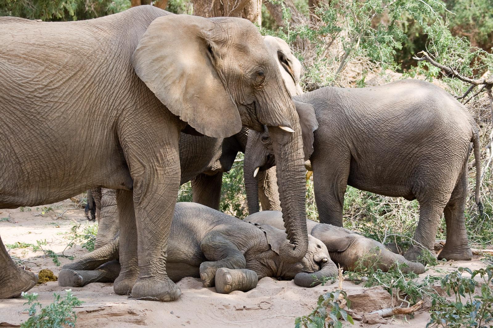 Elephants_with_Sleeping_Baby_%283689579663%29 - Tulog Aron Dali Motubo - Tira-Pasagad | Saksak-Sinagol