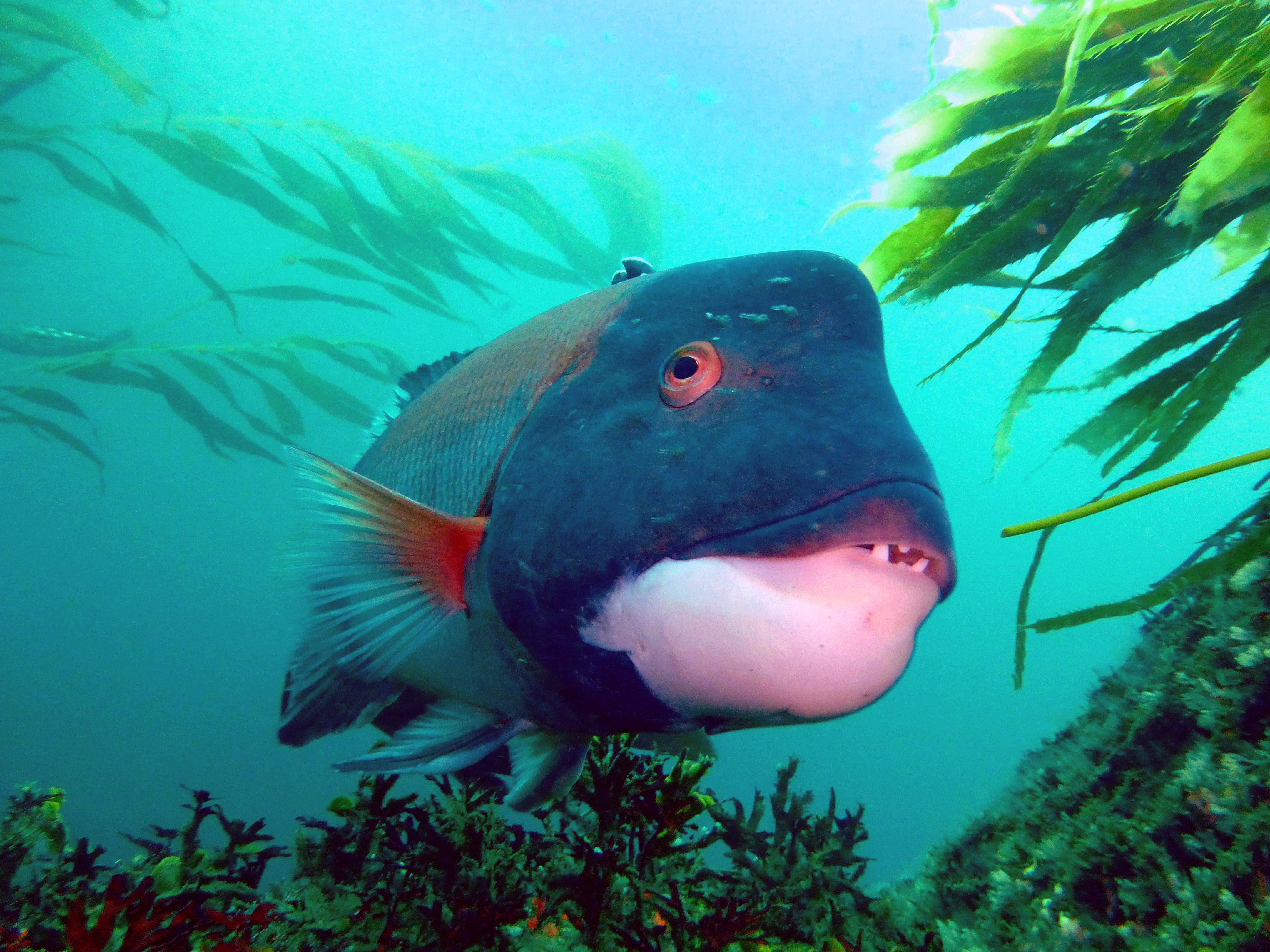 Opinions on california sheephead for California fish planting