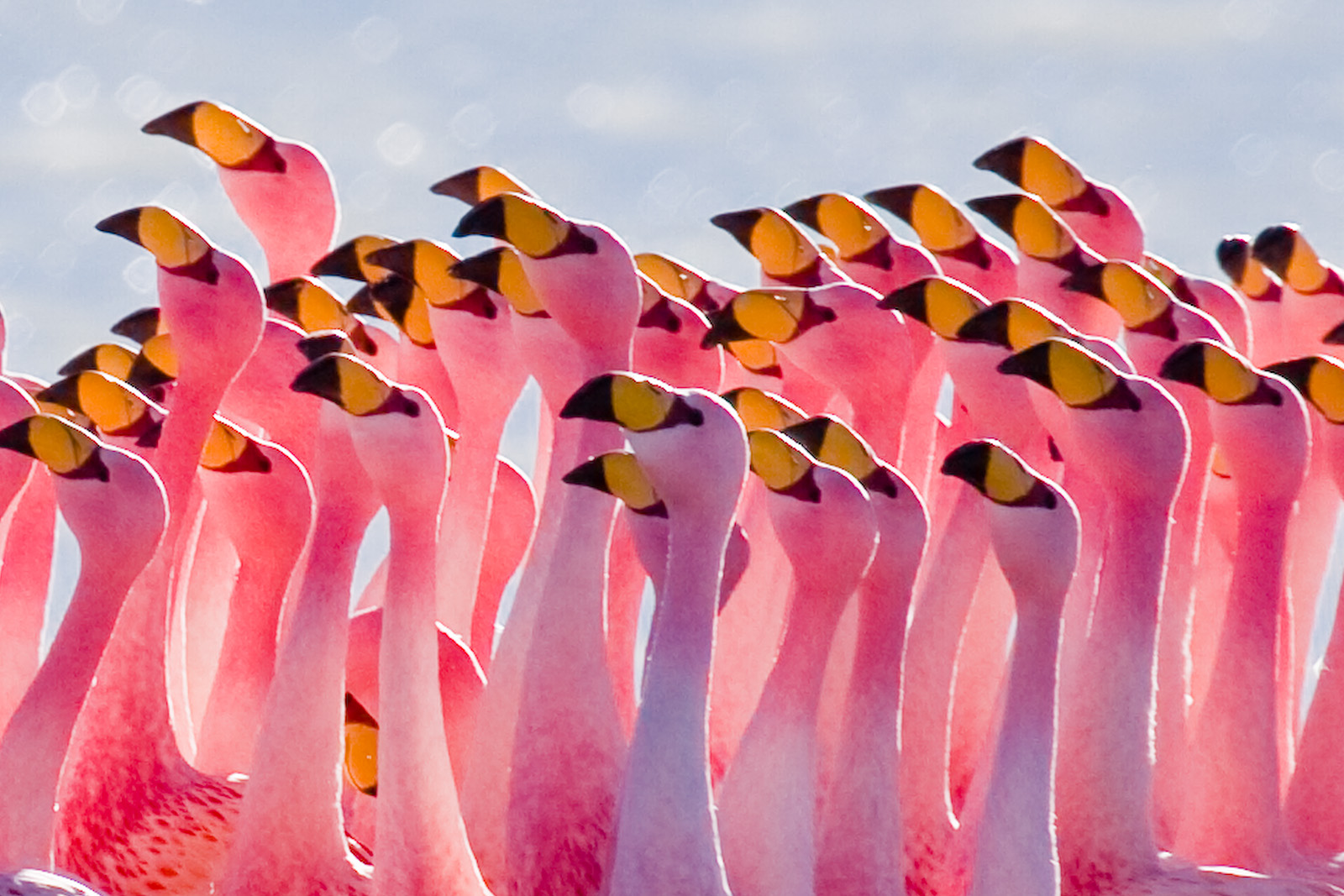file flamingos partying jpg wikipedia