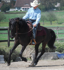 Morgan horse - Wikipedia