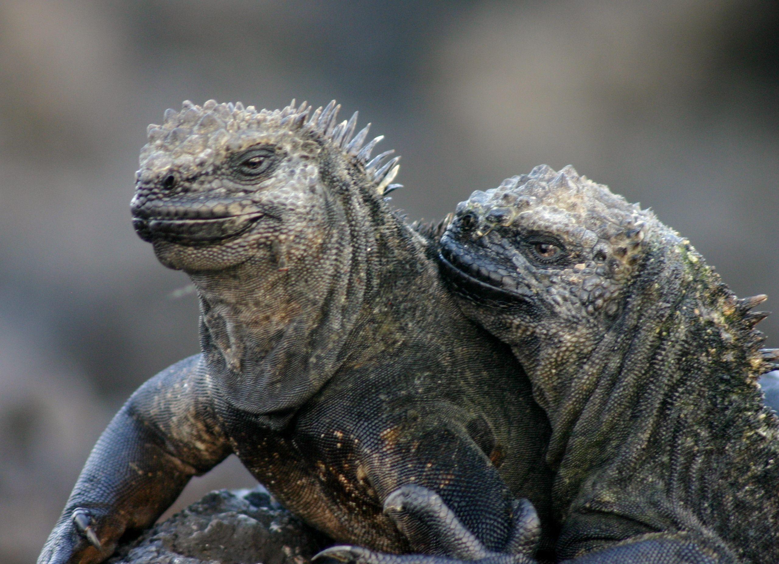 iguana pierde în greutate
