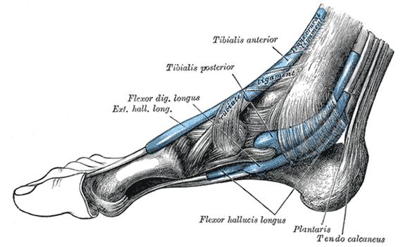Plantaris muscle - Wikipedia