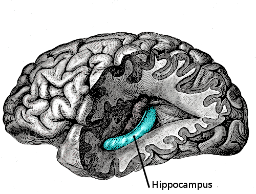 Memory consolidation occurs in the hippocampus