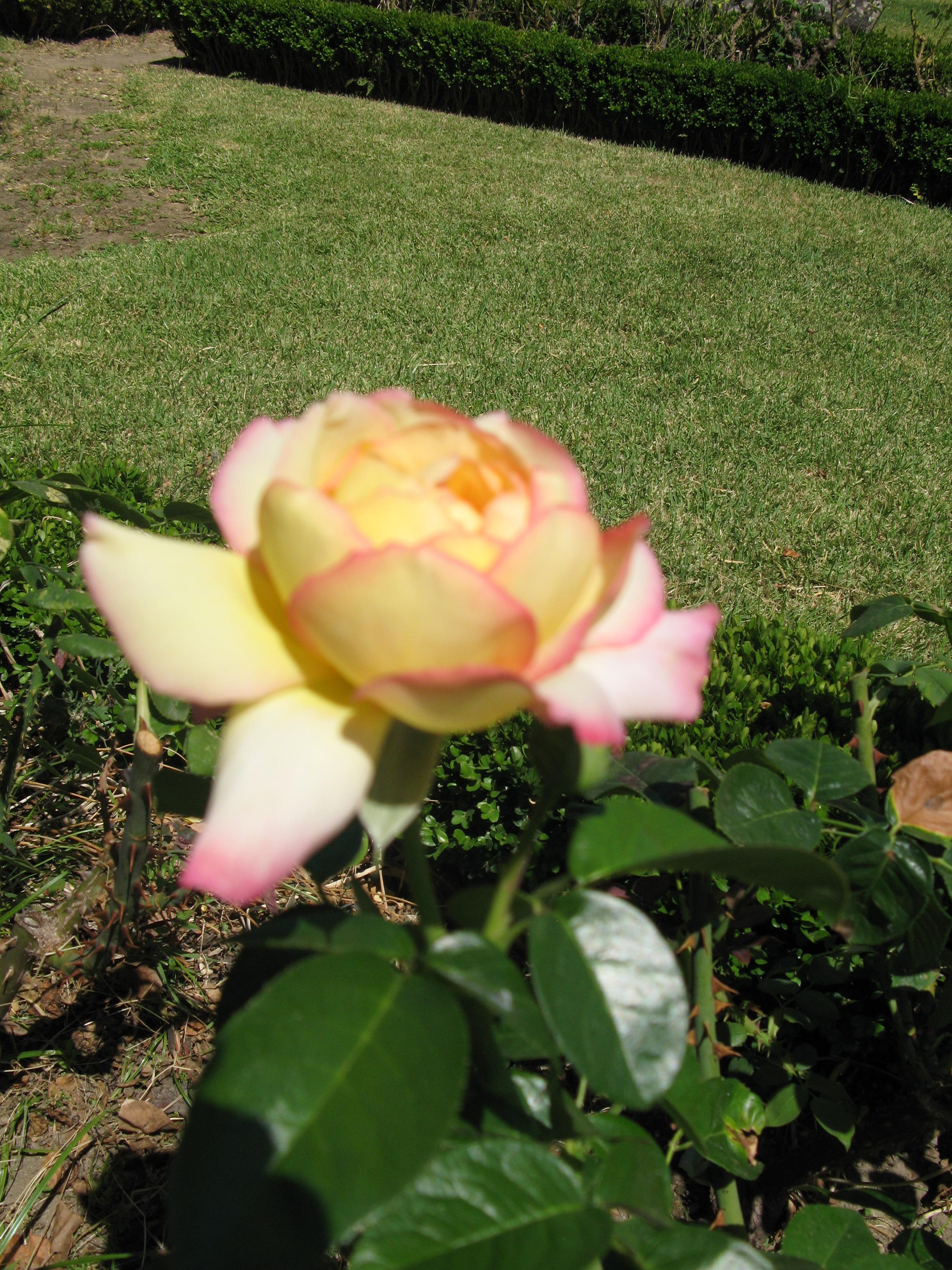 jardim rosas amarelas : jardim rosas amarelas:Ficheiro:Jardim de Santa Bárbara (rosa amarela 3).JPG – Wikipédia