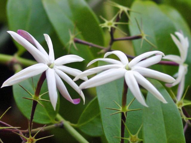 Ficheiro:Jasminum nitidum-flores.jpg
