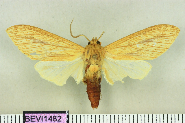 Leucanopsis polyodonta
