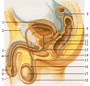 Fil:Male reproductive system lateral nolabel.png