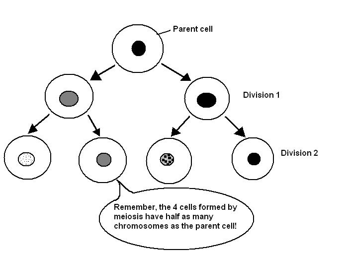 Sample-cells  The Cell  Cell Division