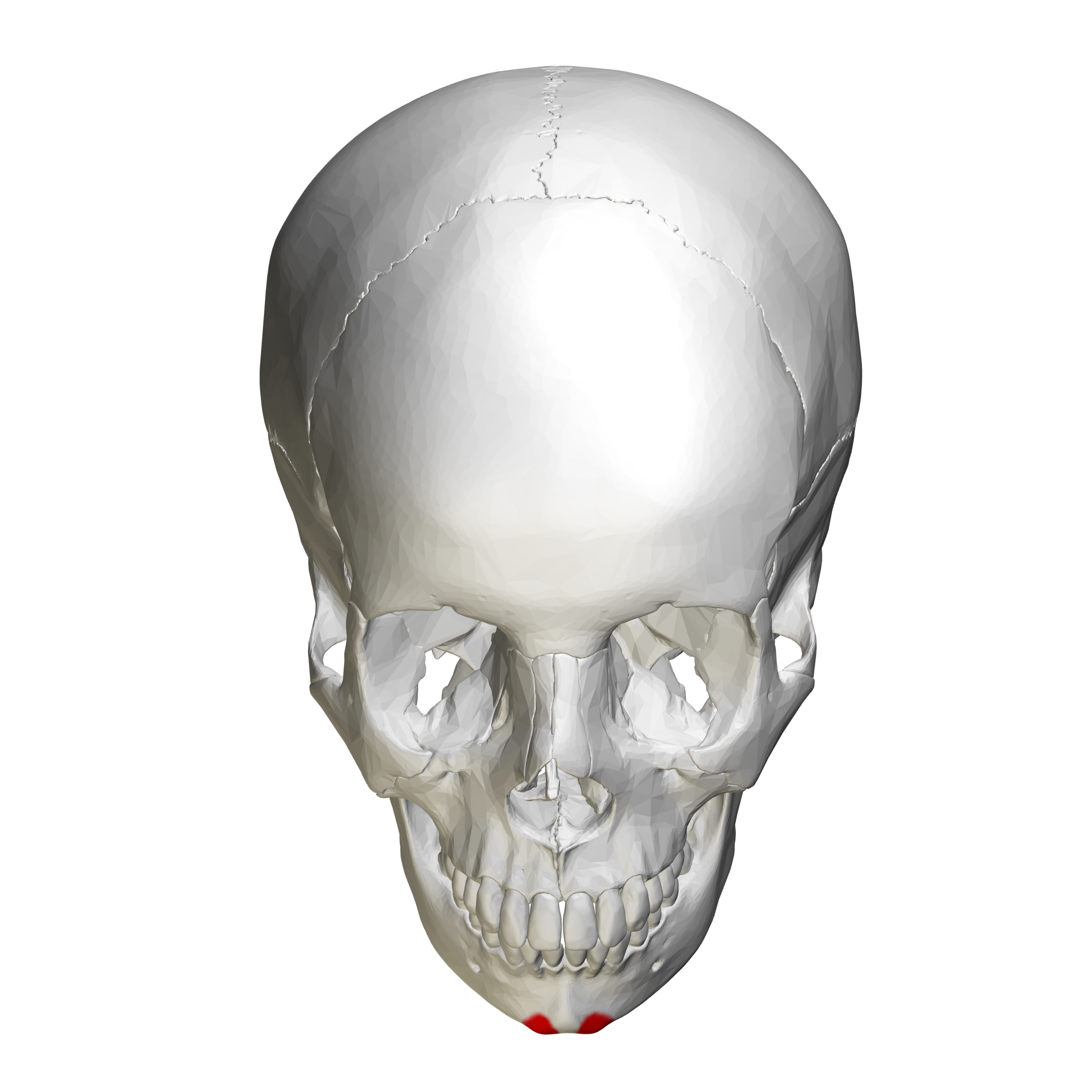 File:Mental tubercle - skull - anterior view02.png ...