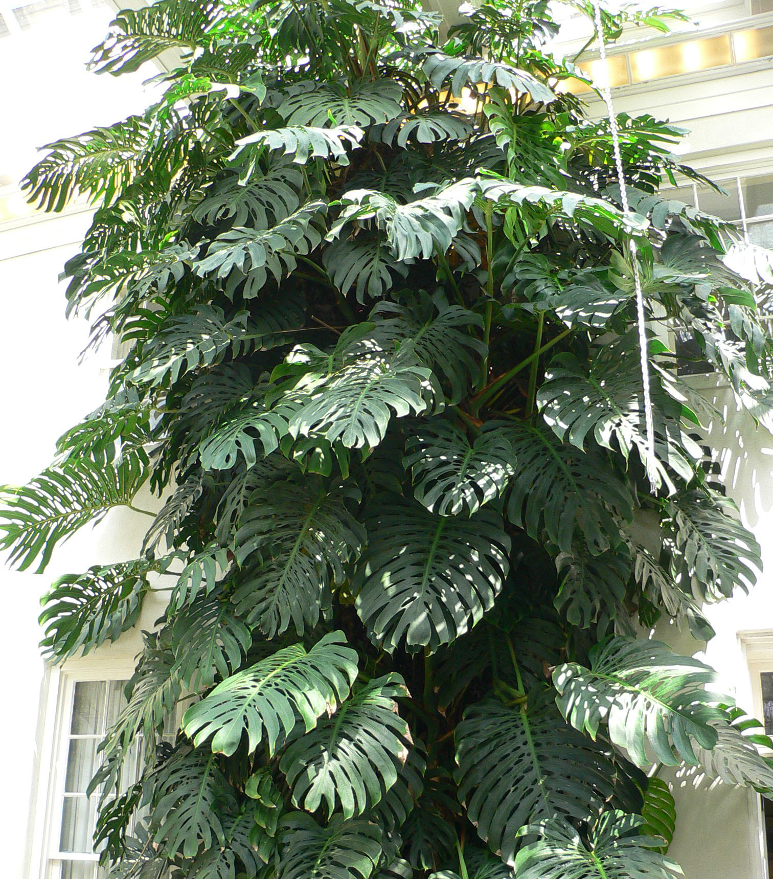 Depiction of Monstera