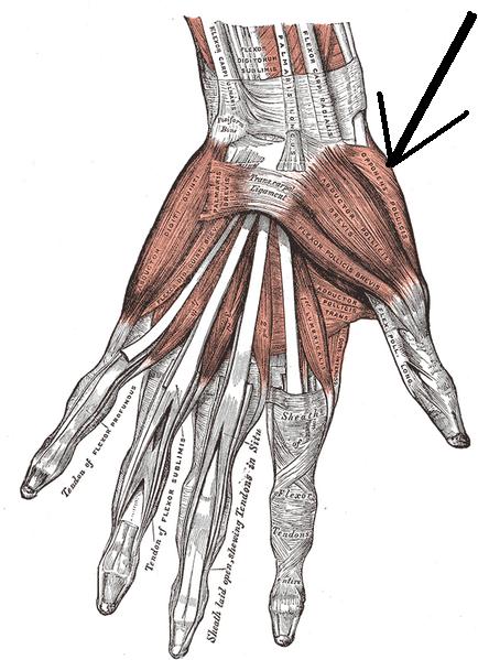 Músculo oponente del pulgar - Wikiwand