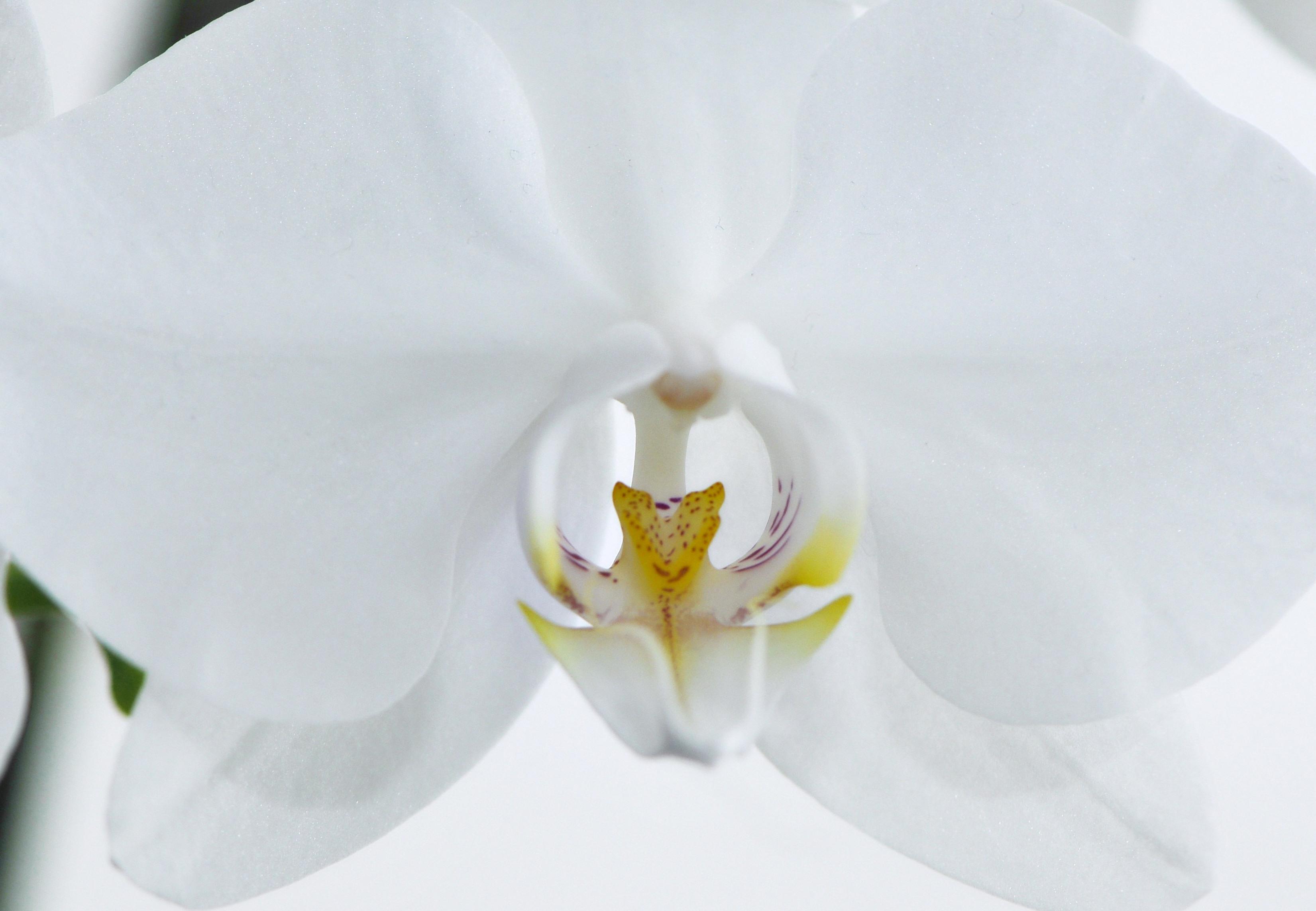 file nachtfalter orchidee phalaenopsis 05a jpg. Black Bedroom Furniture Sets. Home Design Ideas