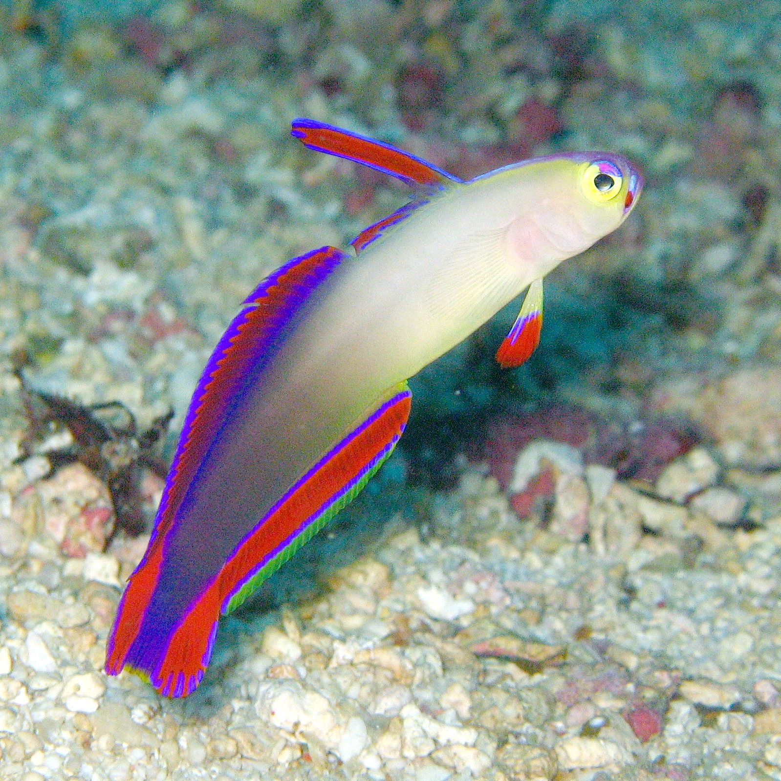 File nemateleotris wikipedia for How to saltwater fish