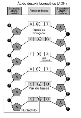 ملف:Nucleótido.png