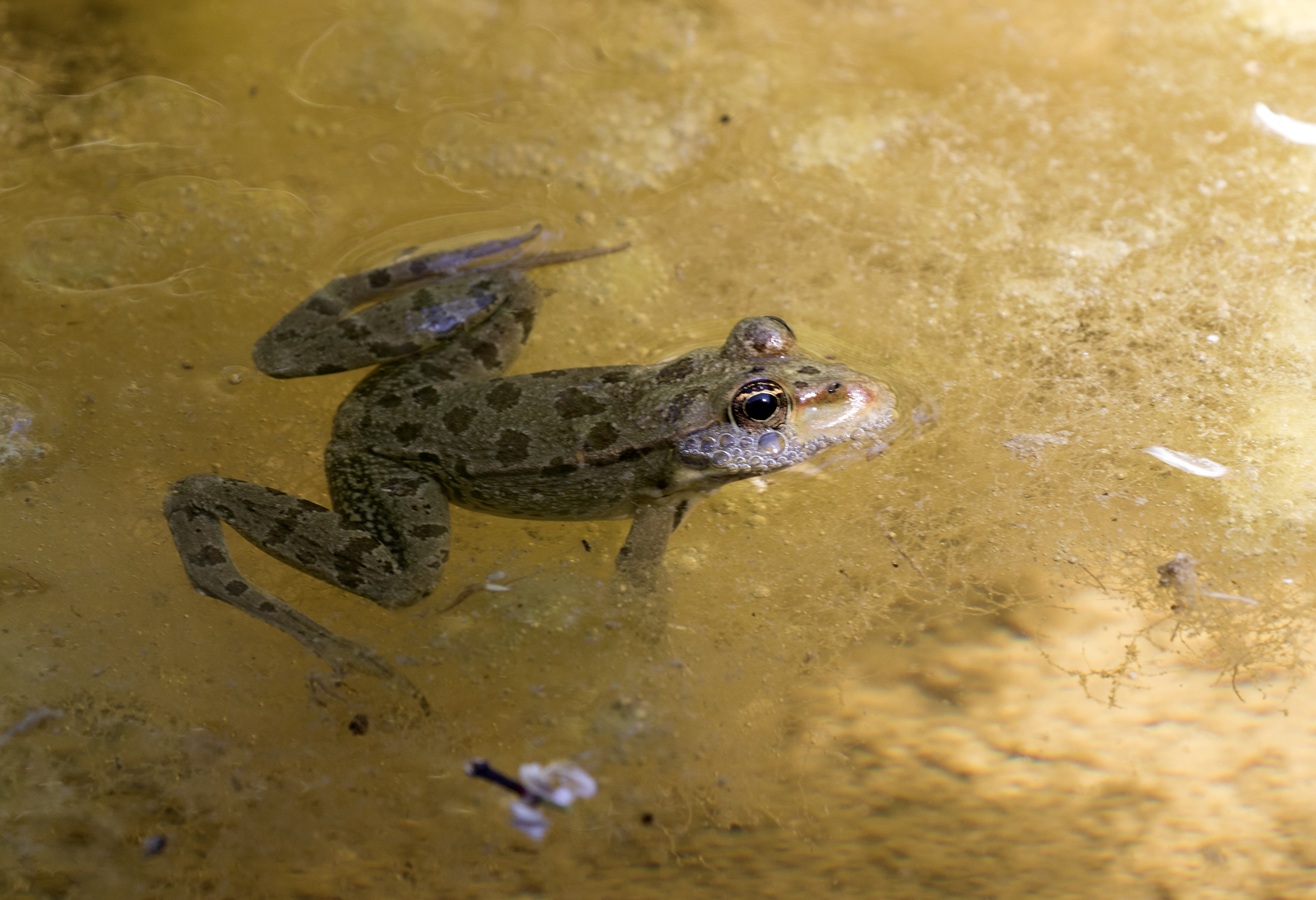 Pelophylax bedriagae - Levant water frog 01.jpg