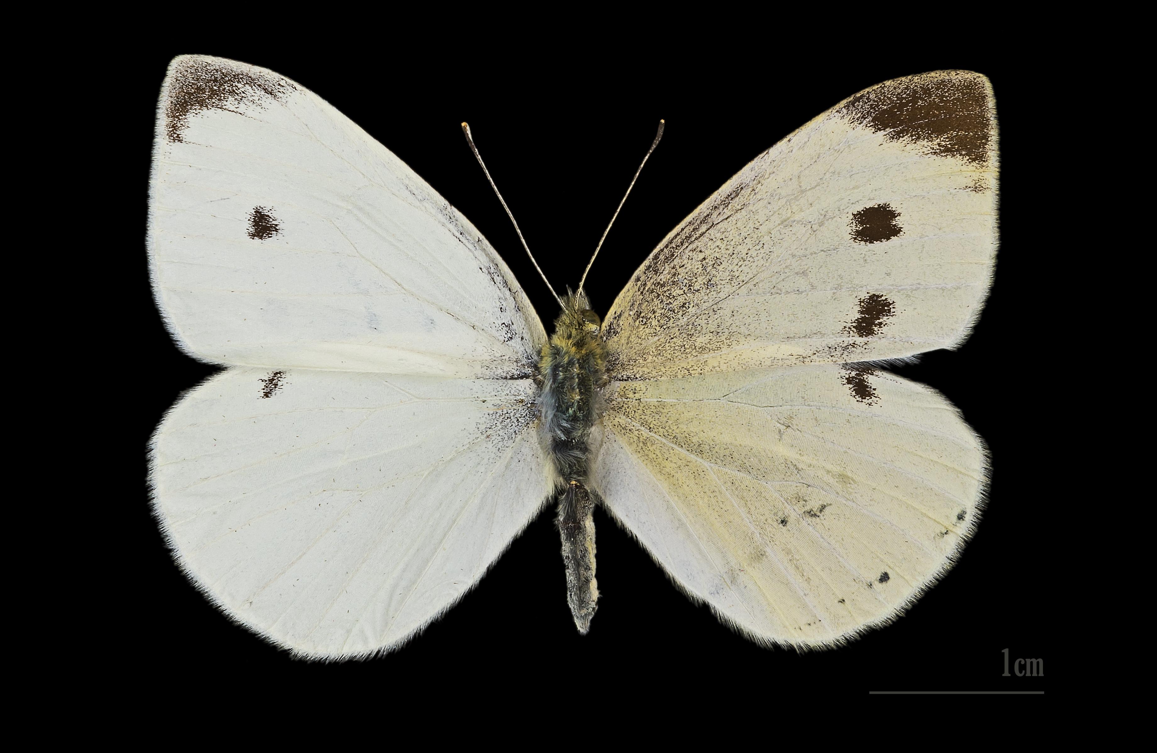 Schmetterlinge 70 Mio. Jahre älter als gedacht – science.ORF.at