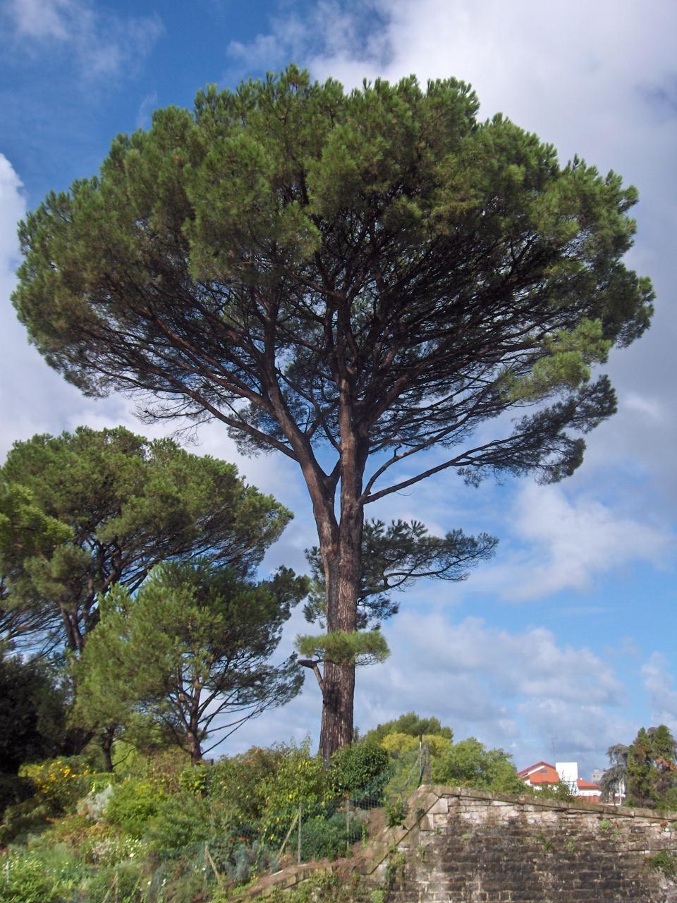 Дерево пиния и фото орехов пинии
