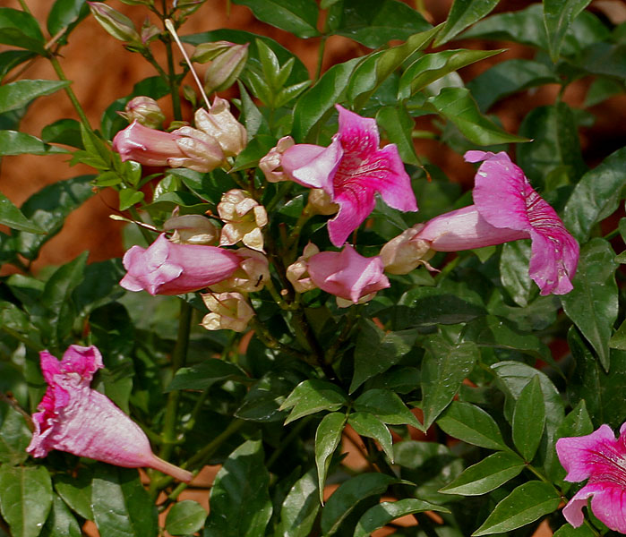 Filepodranea ricasoliana pink trumpet vine in hyderabad w2 img filepodranea ricasoliana pink trumpet vine in hyderabad w2 img 5685g mightylinksfo