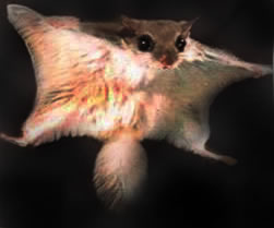 Flying Squirrel Leaping