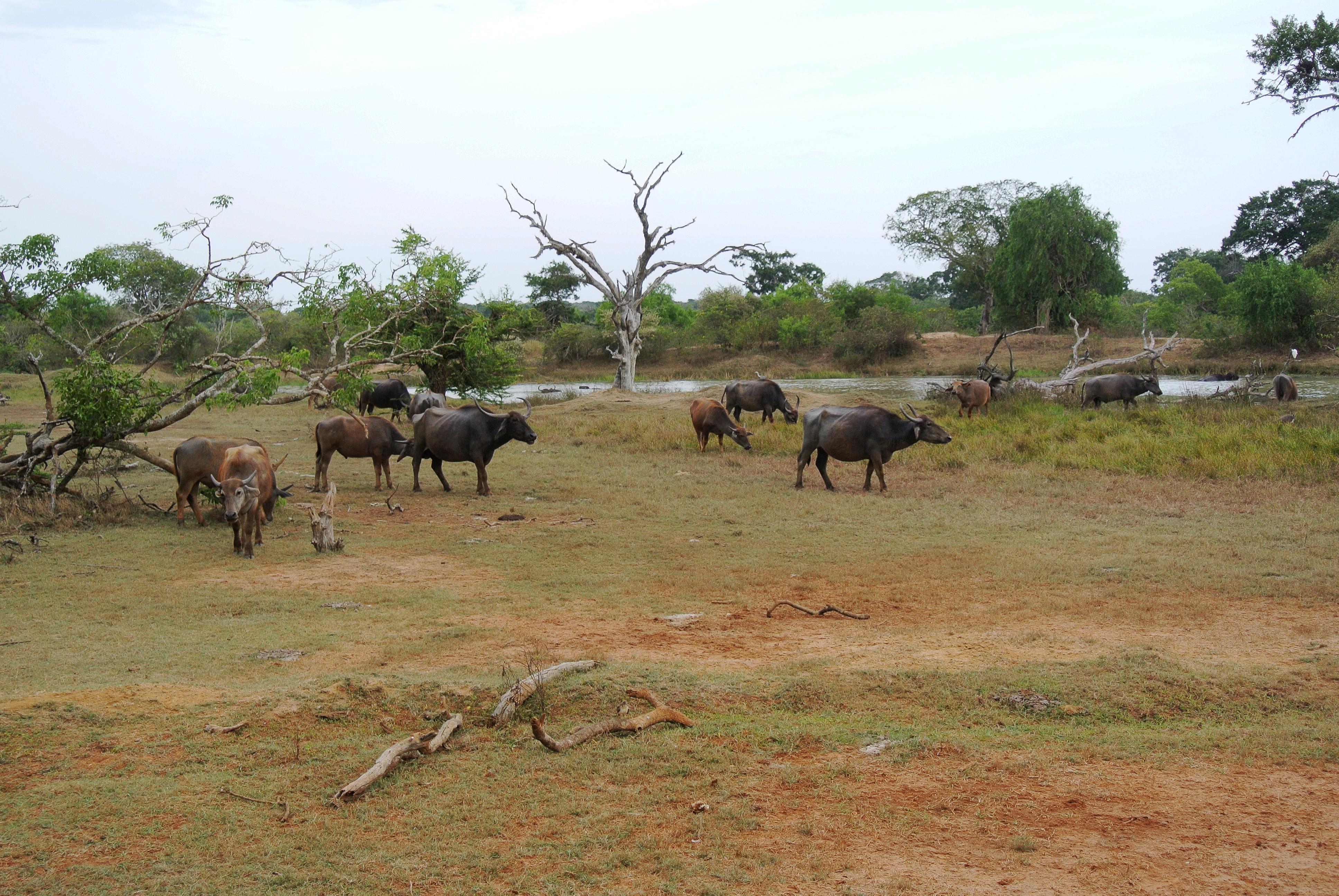 http://upload.wikimedia.org/wikipedia/commons/2/2e/Possibly_Wild_Water_Buffalos_Yala_National_Park.jpg?uselang=fr