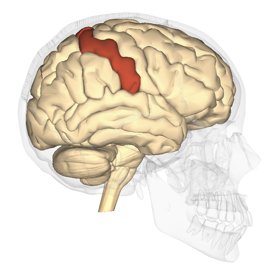 Description Postcentral gyrus - lateral view pngSupramarginal Gyrus Mri