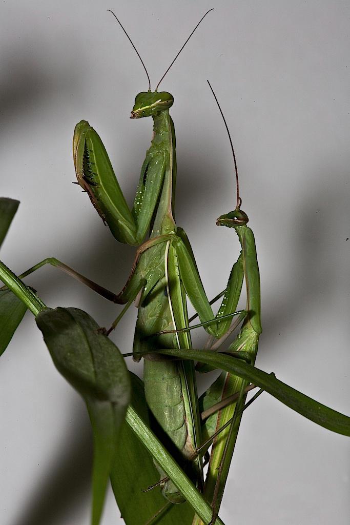 Praying mantis hanky