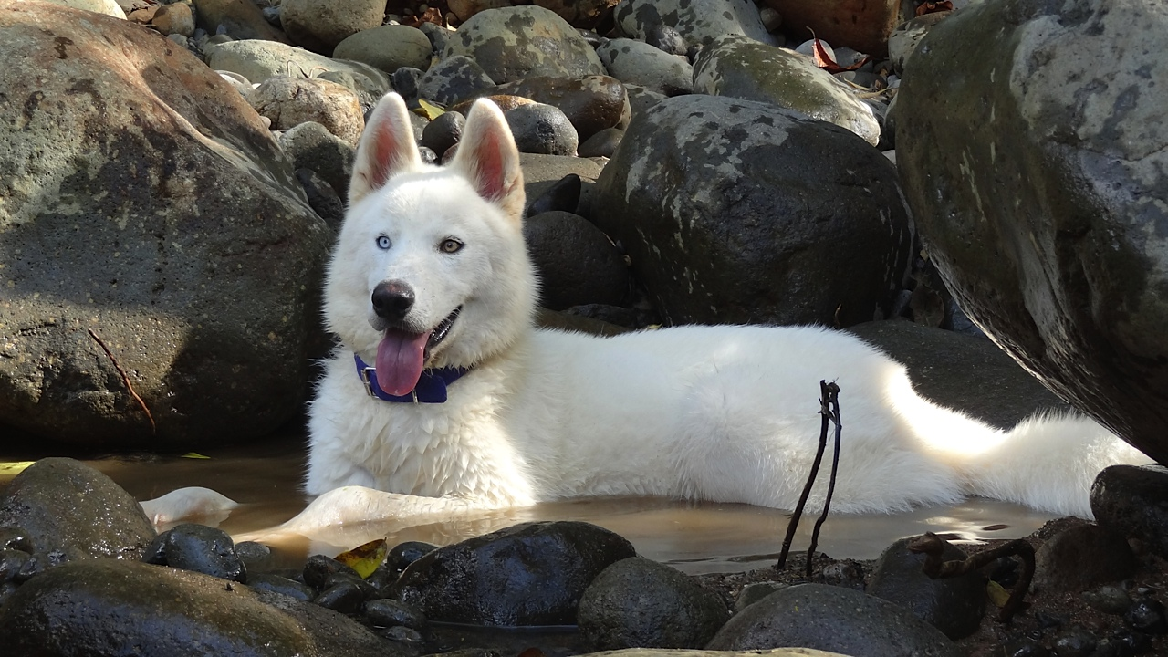 Videos Of Husky Dogs Talking