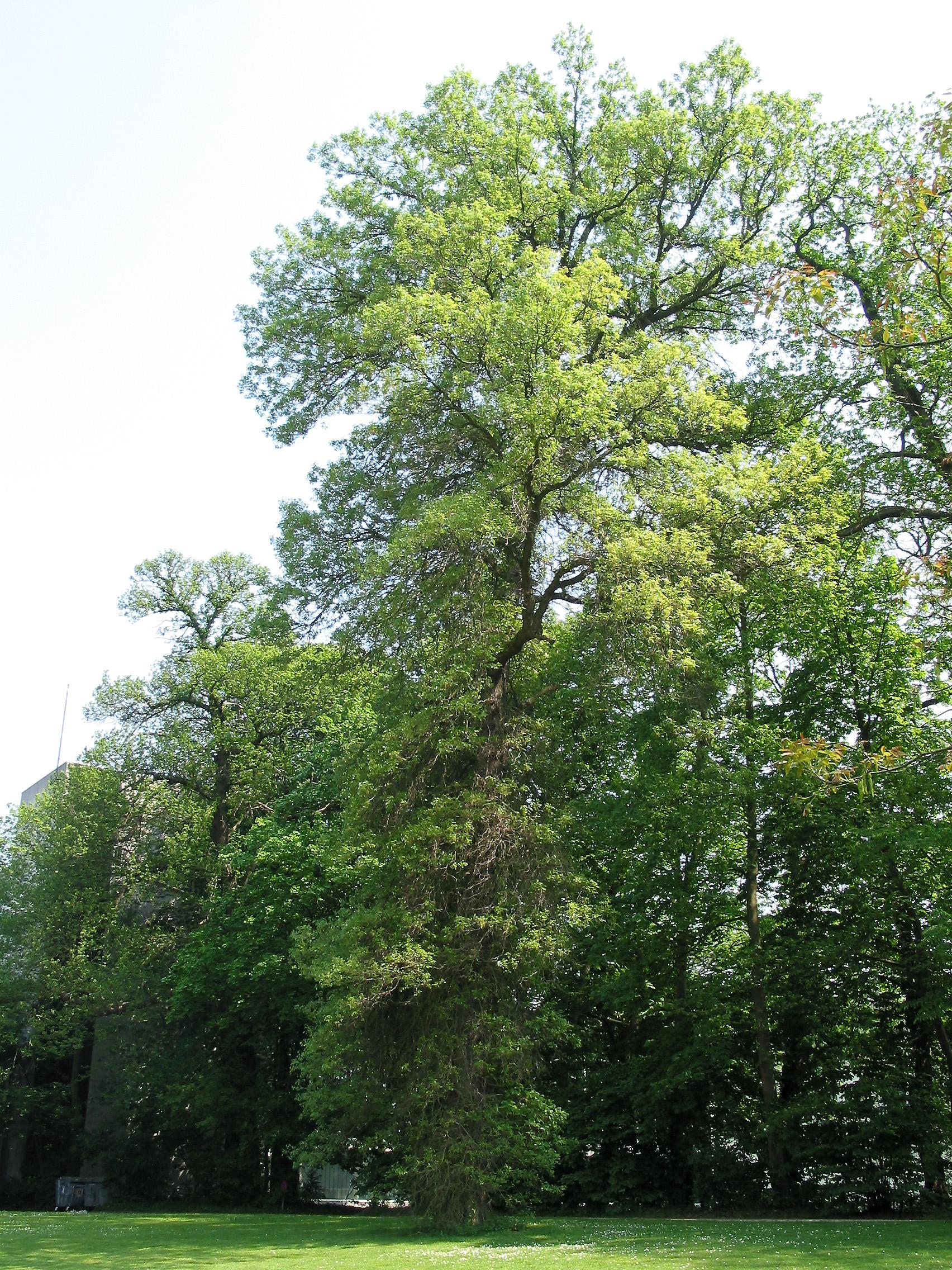 Swamp white oak wiktionary