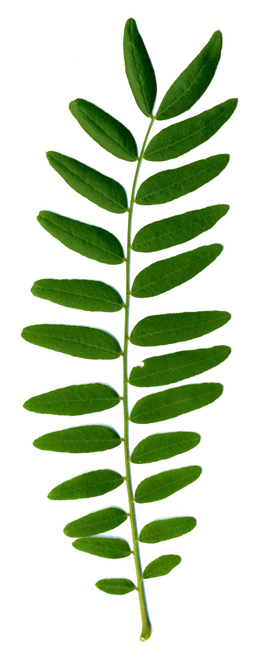 File:Robinia pseudoacacia-leaf.jpg