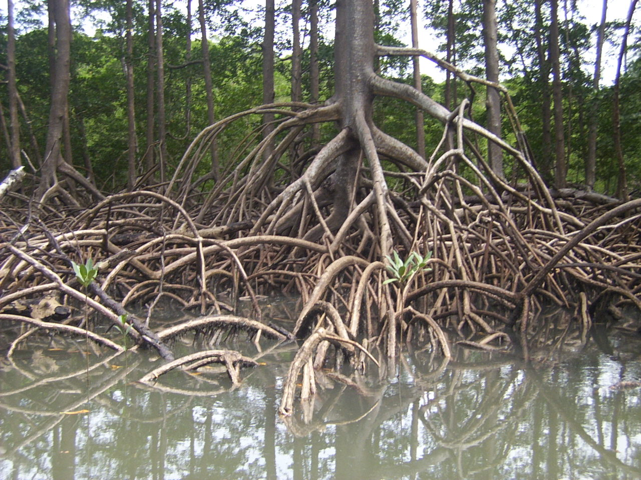 Mangroves and their role to ecology