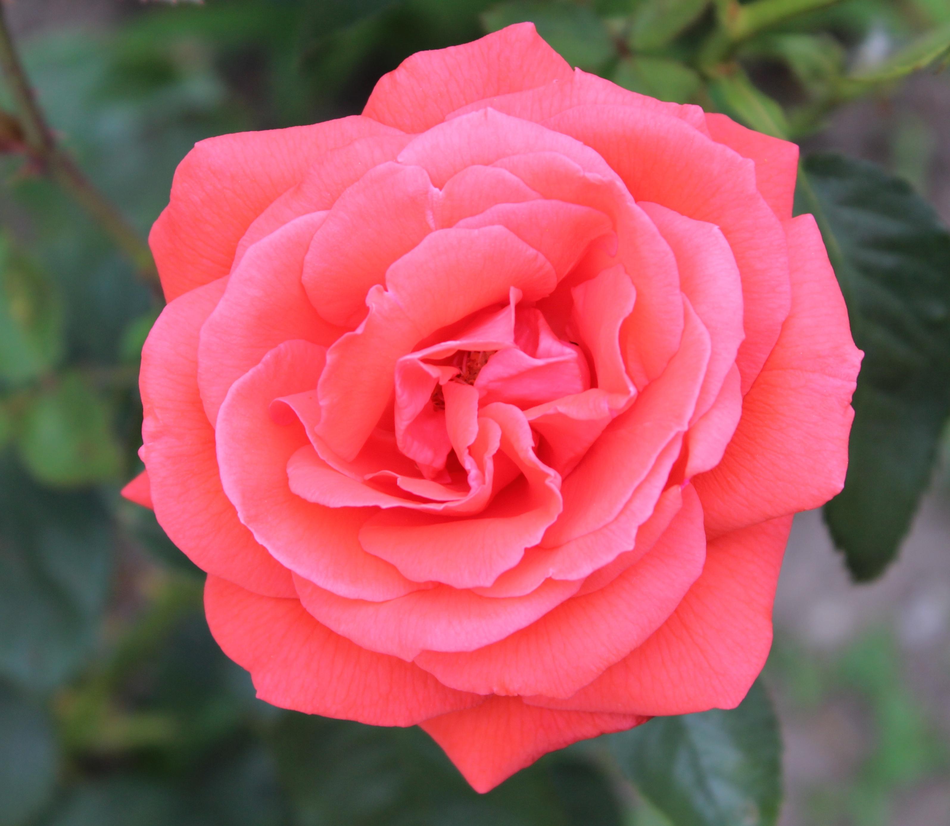 Description Rose Super...
