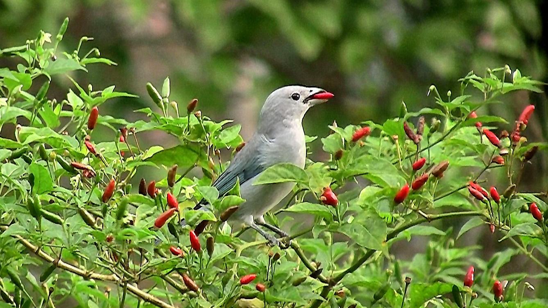 http://upload.wikimedia.org/wikipedia/commons/2/2e/Sayaca_Tanager_feeding_on_malagueta_peppers.jpg