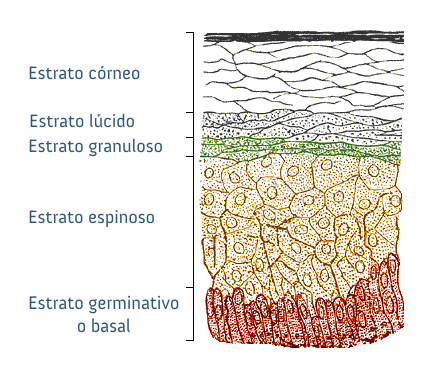 Epitelio escamoso estratificado - Wikiwand