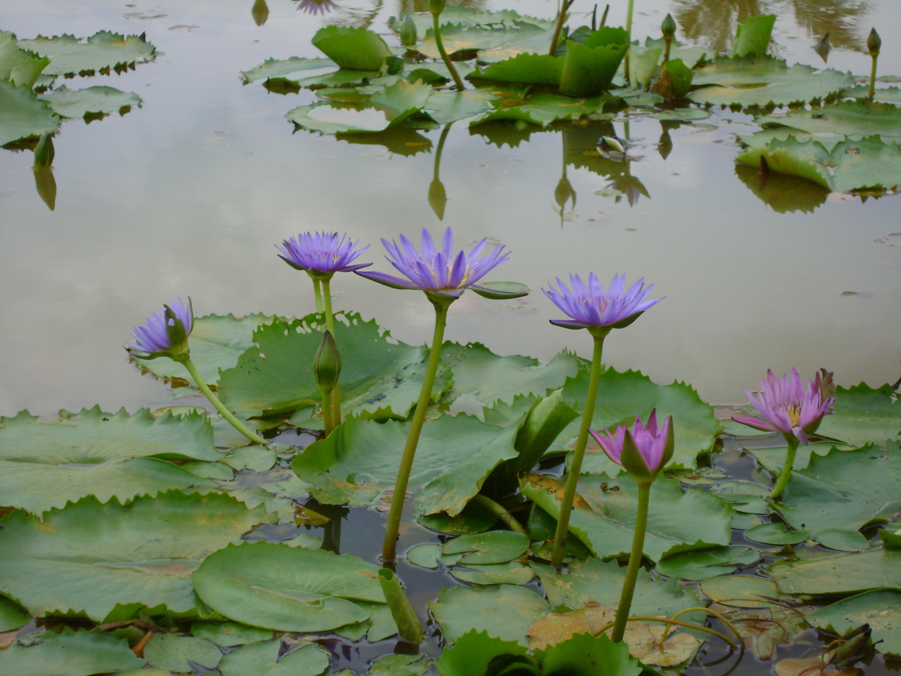 Filesouth Vietnams Water Lilyg Wikimedia Commons